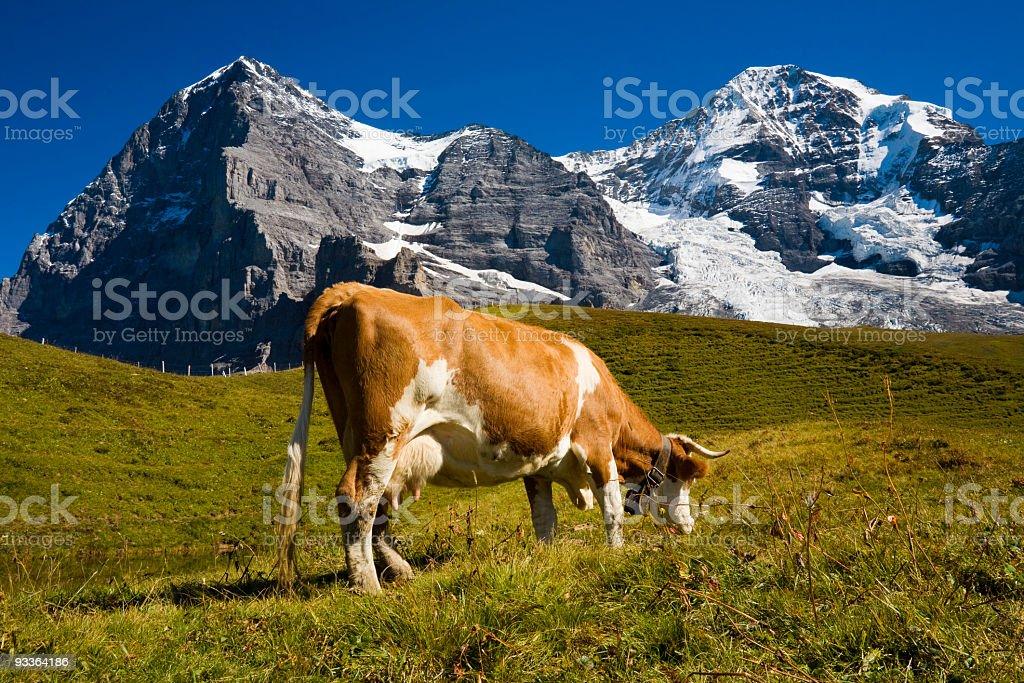 Kuh auf der Sommerweide royalty-free stock photo