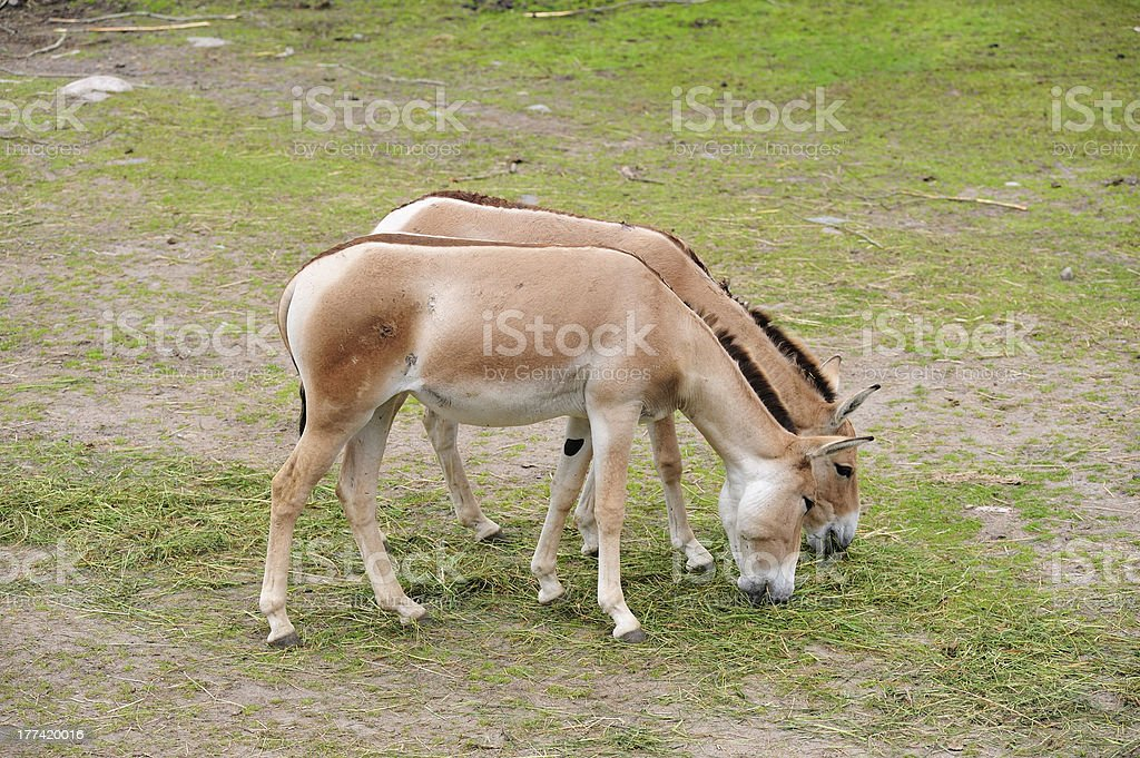 Kulans grazing in a field stock photo