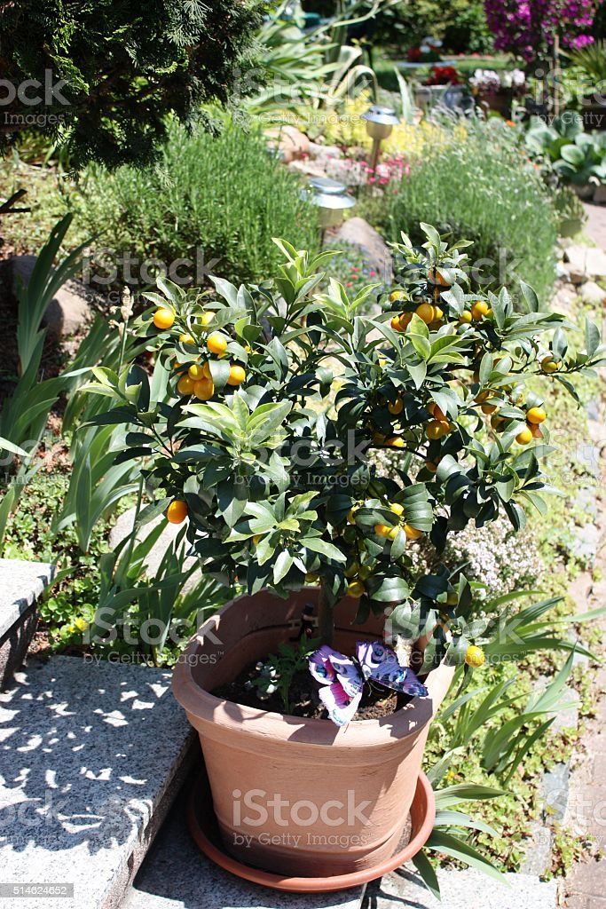 kumquat tree in the rock garden stock photo