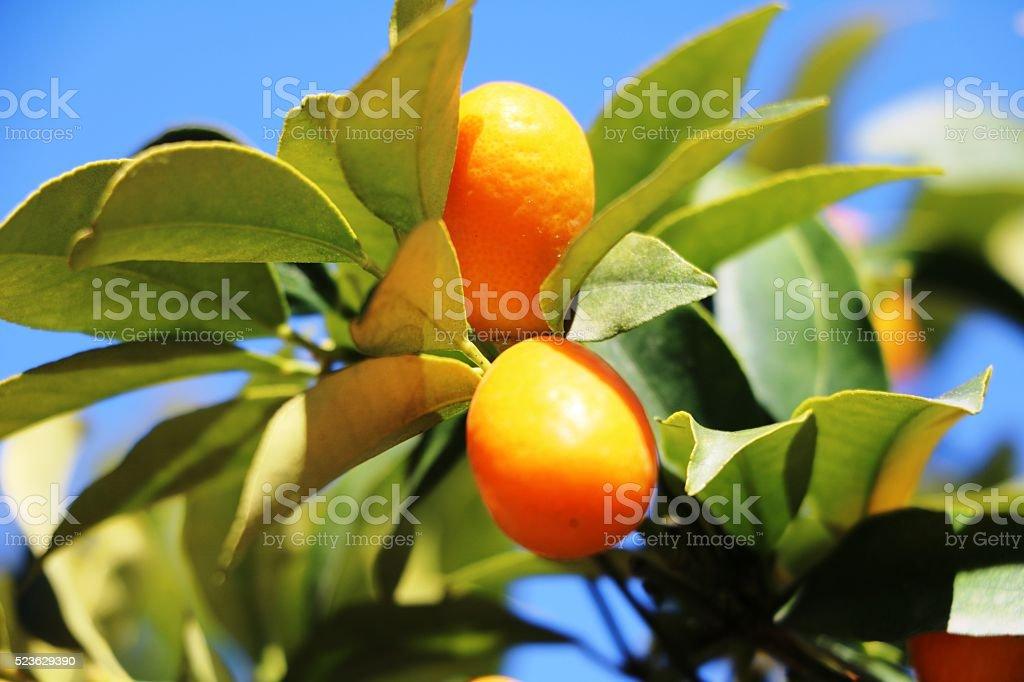 Kumquat with orange fruit under blue sky stock photo