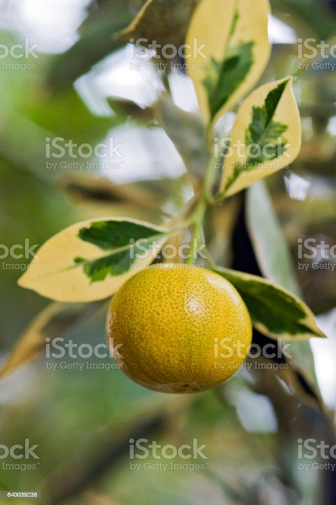 Kumquats fruit tree very appreciated in gardening stock photo