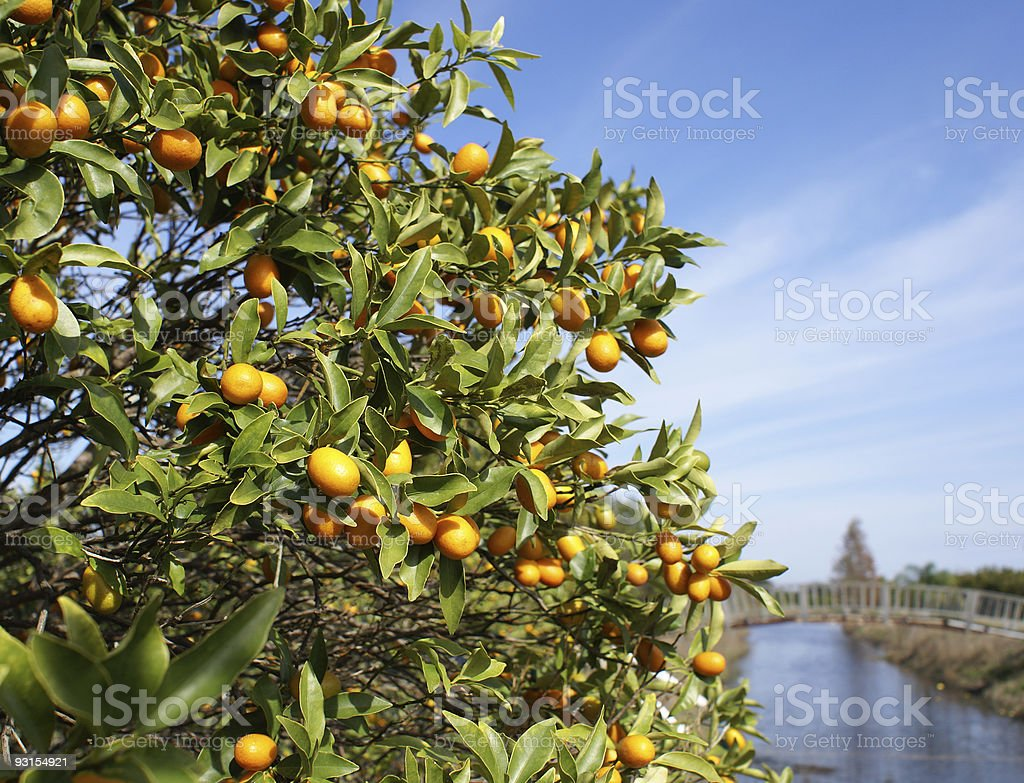 Kumquats On Tree royalty-free stock photo