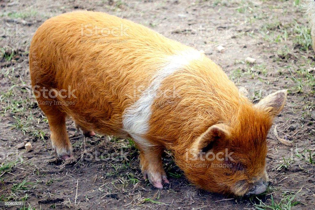Kunekune Pig royalty-free stock photo