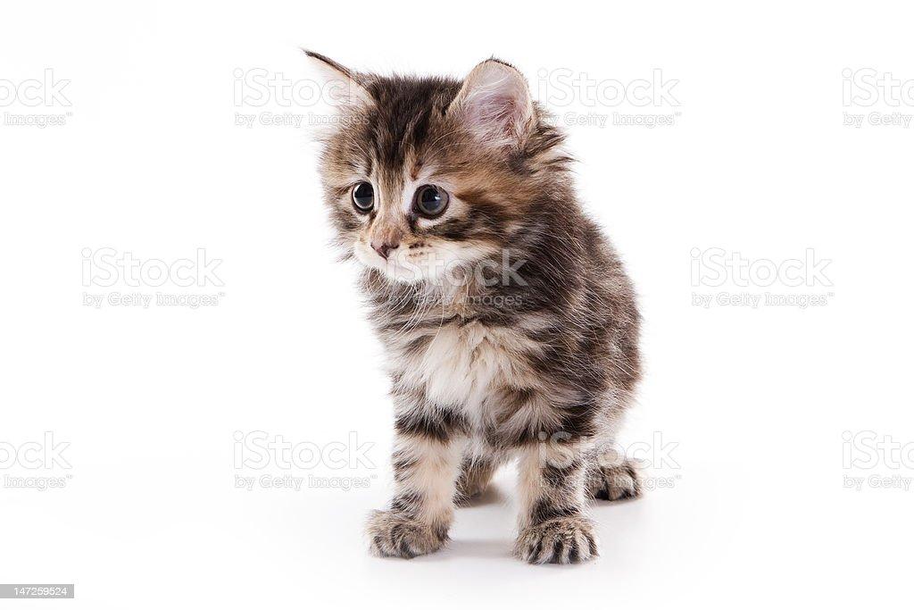 Kuril Bobtail kitten on white stock photo