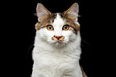 Kurilian Bobtail cat on isolated black background