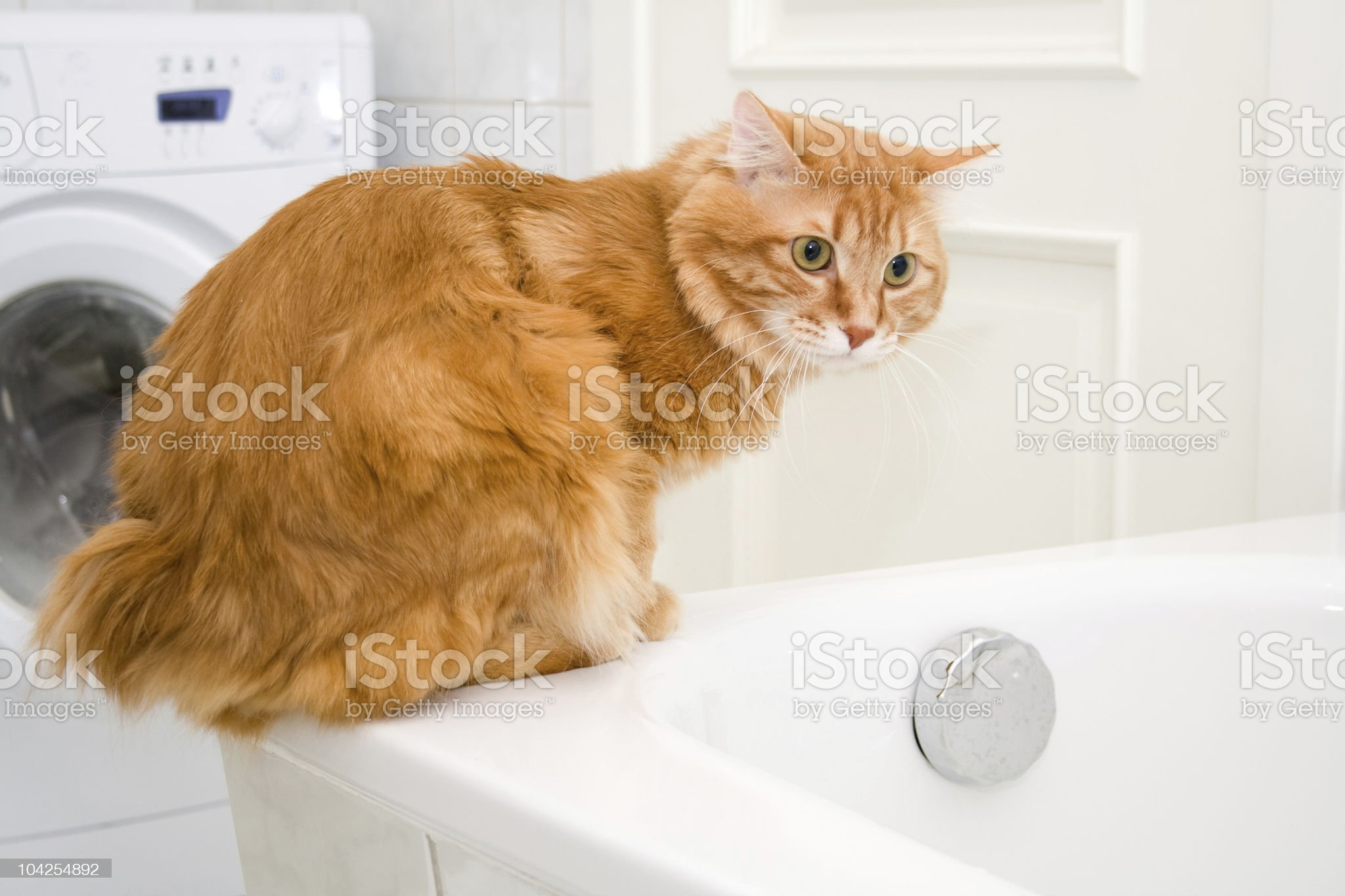Kurilian bobtail on bath royalty-free stock photo