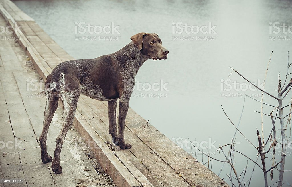 Kurzhaar - German shorthaired pointer stock photo