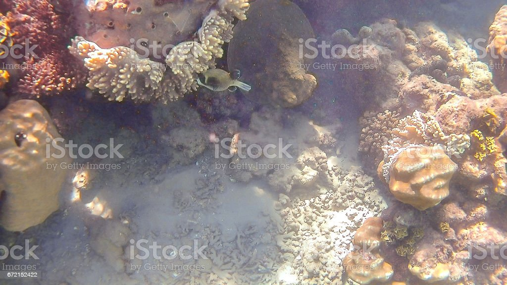 Kuzovka fish swim around a bright colored coral reef in the Red Sea in Hurghada, Egypt, sunlight, waves, under water stock photo