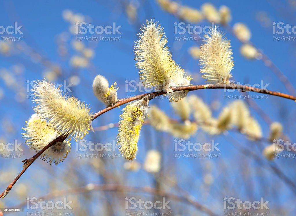 Kwiaty wierzby stock photo