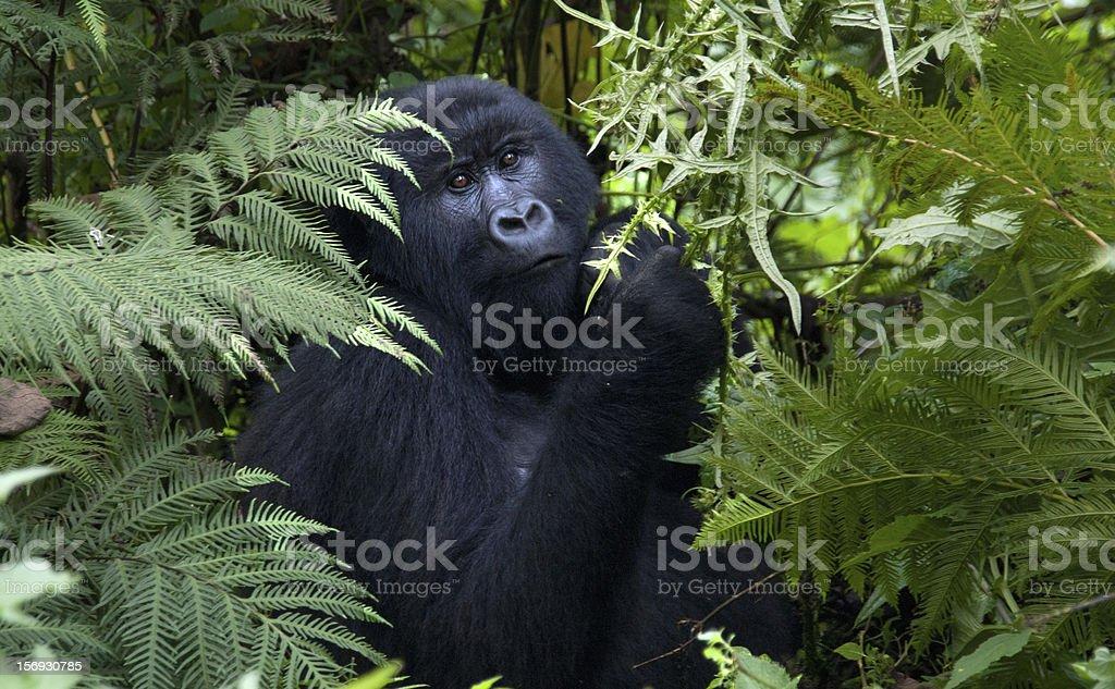 Kwitonda. Gorilla Female stock photo