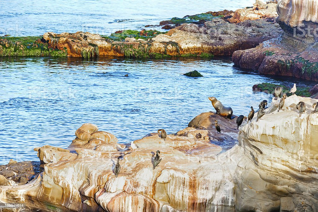 La Jolla California sea lions royalty-free stock photo