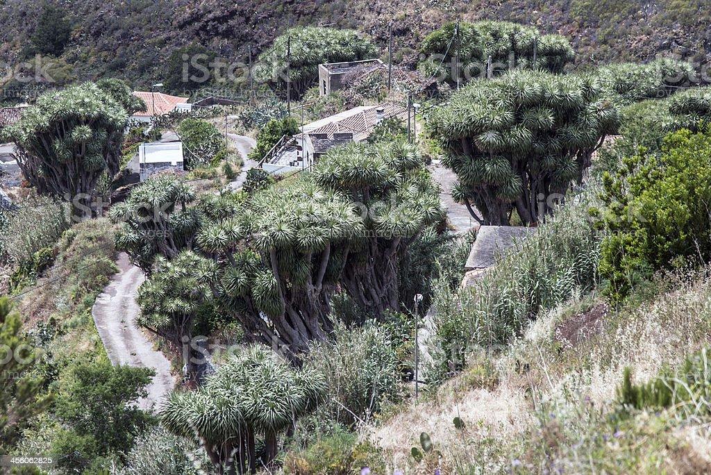 La Palma 2013 - Drachenbaum stock photo