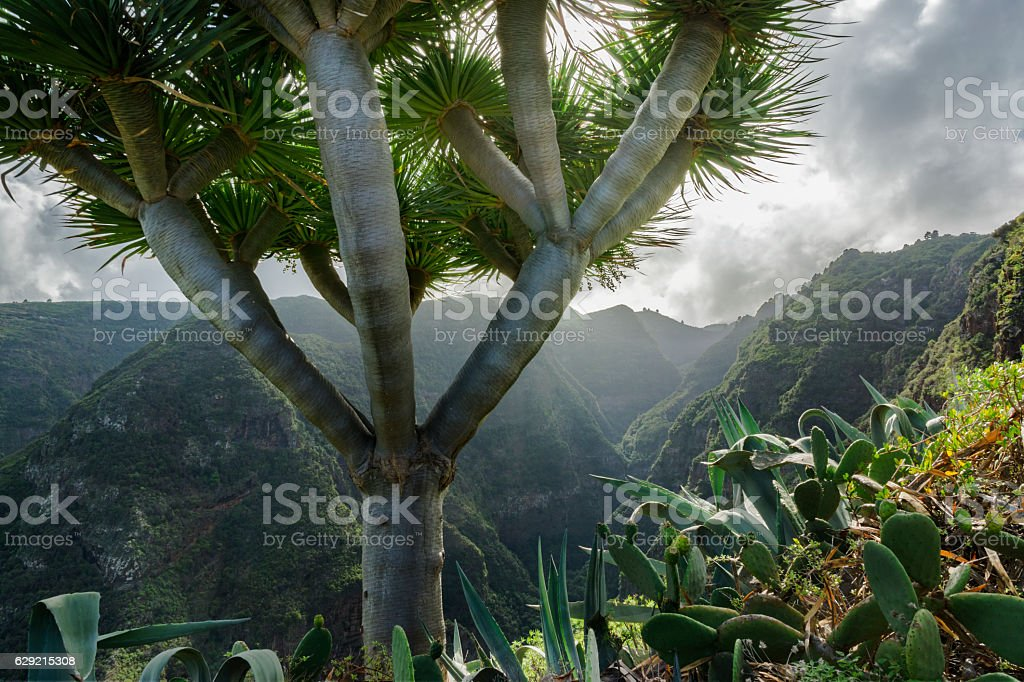La Palma mountains quivertree stock photo