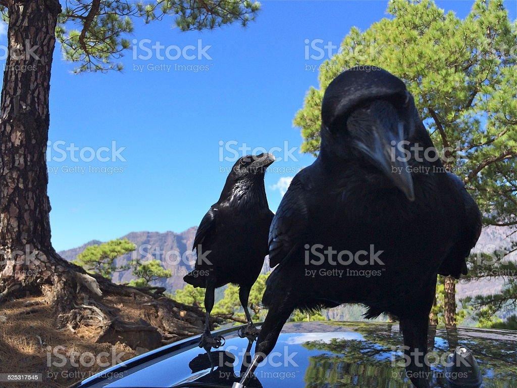 La Palma, raven in National Park Caldera de Taburiente stock photo
