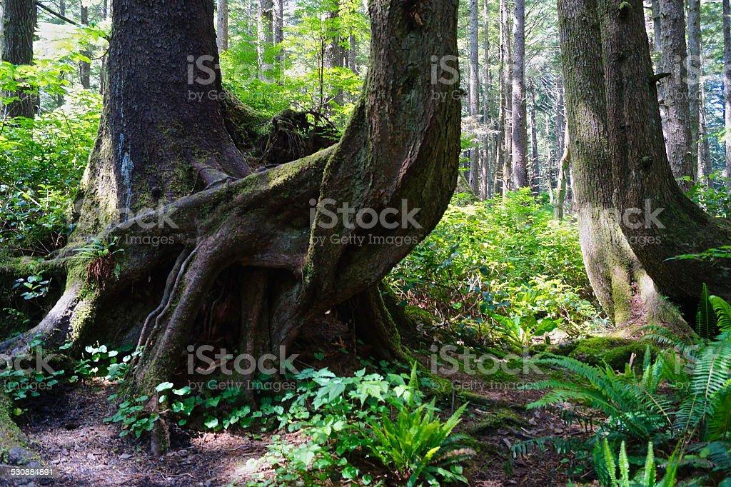 La Push Gnarly Spruce stock photo