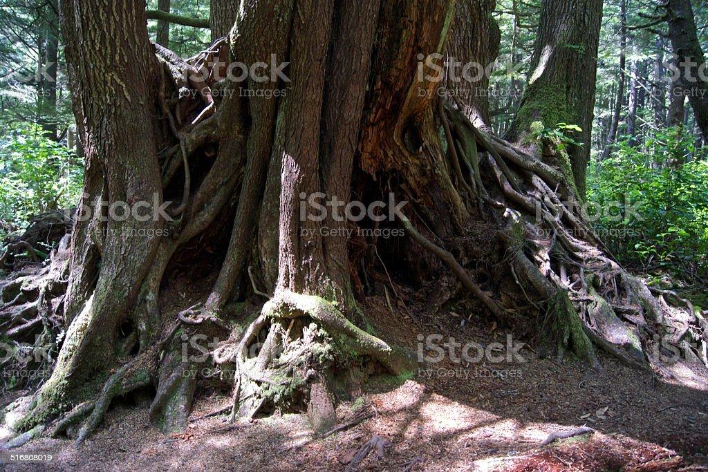 La Push Rainforest Roots stock photo