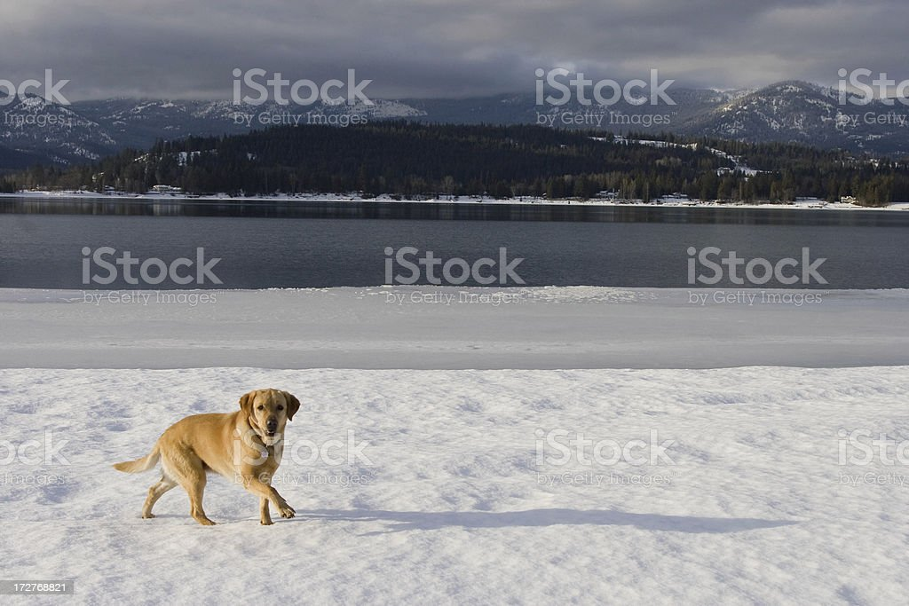 Lab by the Lake stock photo