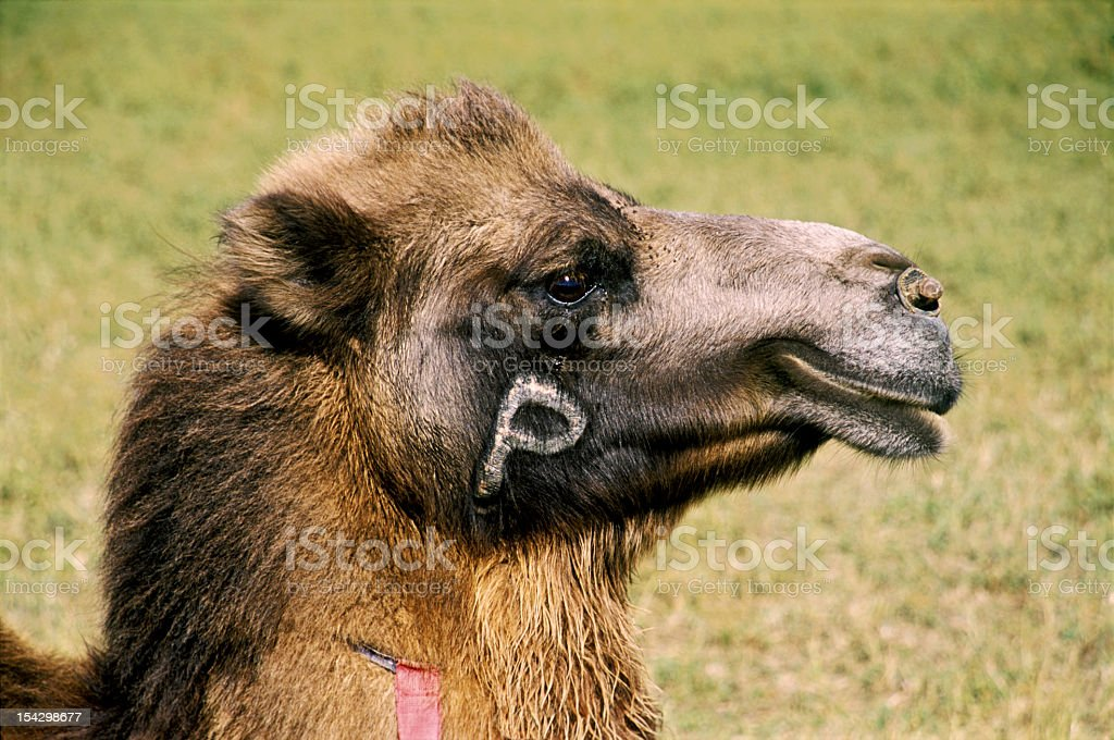 Labeled a camel. stock photo