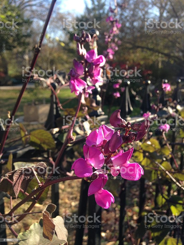 Lablab Vine Blossoming on Fence in Park in Bright Sunlight. stock photo