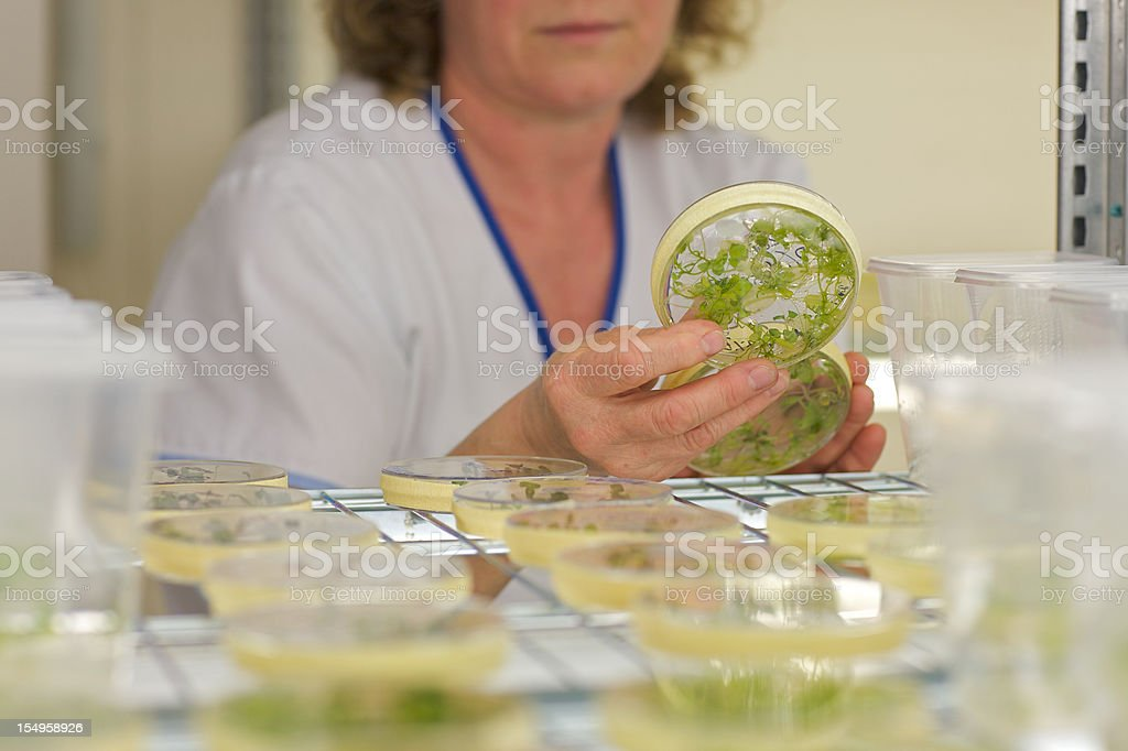 laboratory assistant in a greenhouse check the in-vitro cultivation stock photo