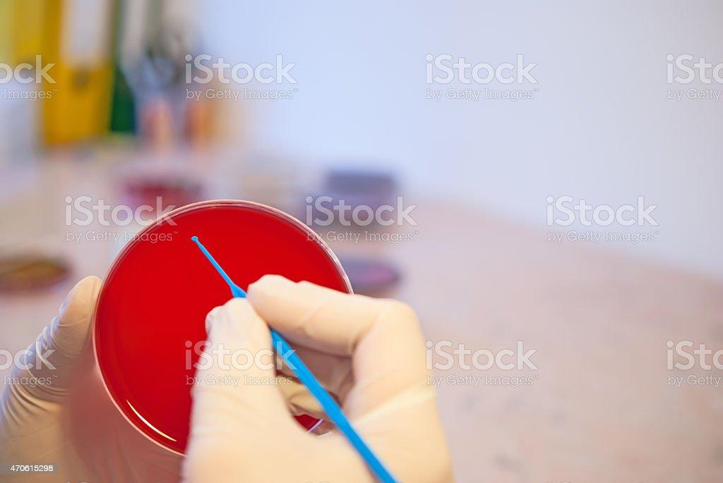 Laboratory doctor holding inoculation loop and petri dish stock photo