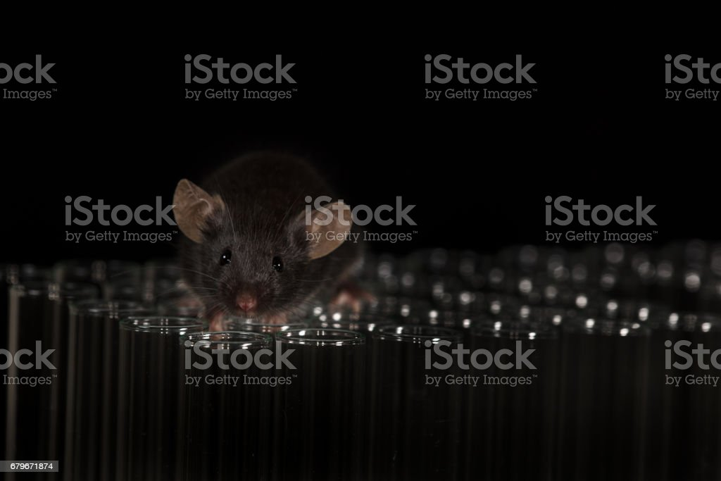 Laboratory mice with tubes stock photo