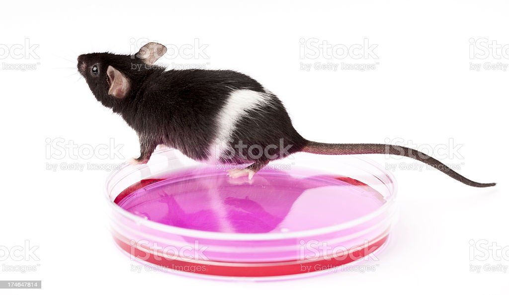 Laboratory mouse and stem cells isolated on white royalty-free stock photo