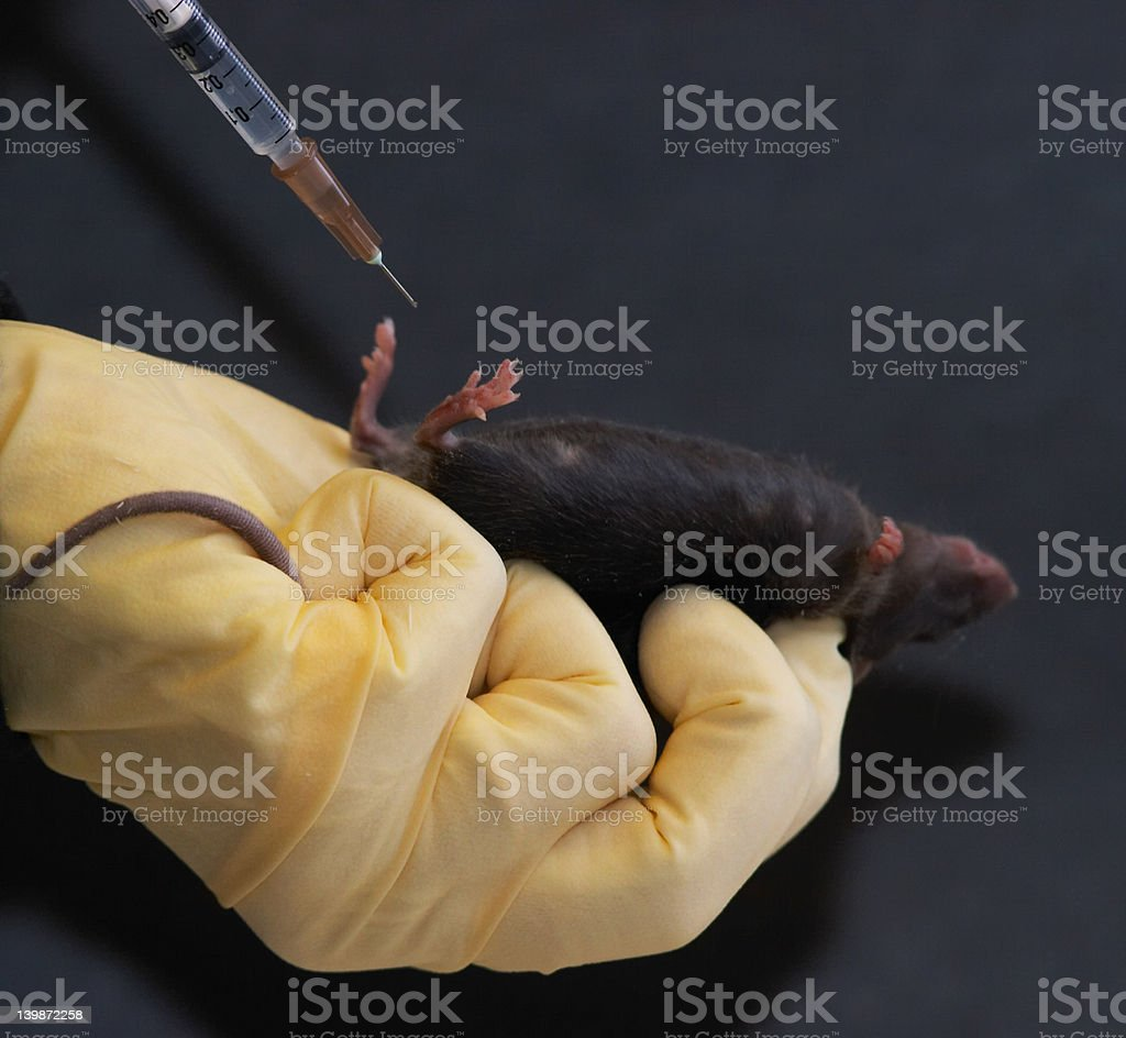 Laboratory mouse given intraperitoneal injection royalty-free stock photo