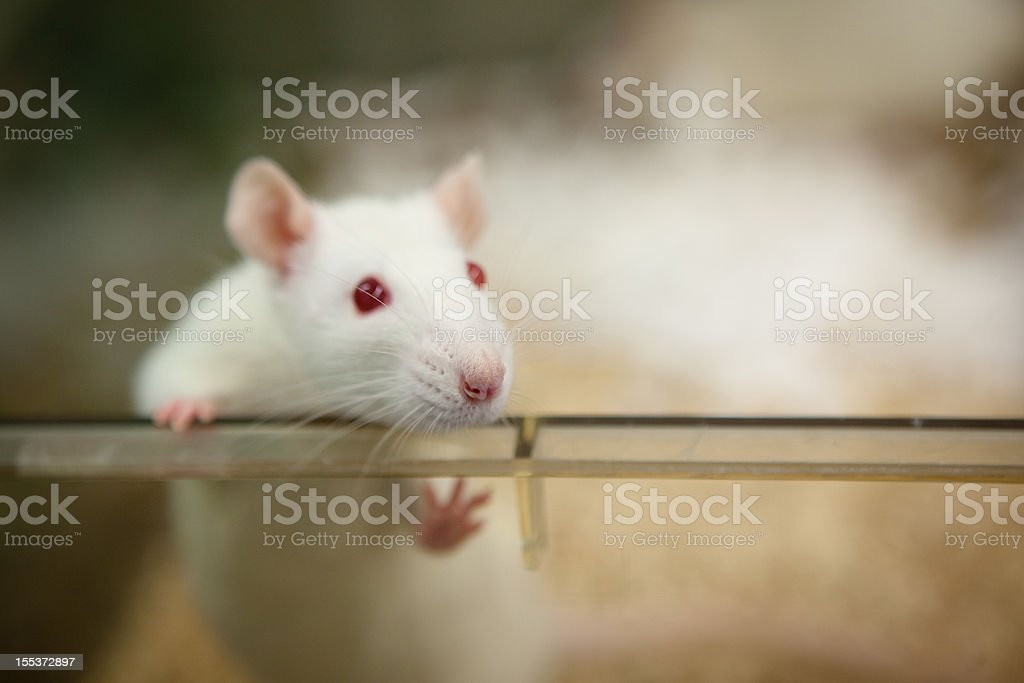 laboratory rat with red eyes looks out of plastic cage stock photo