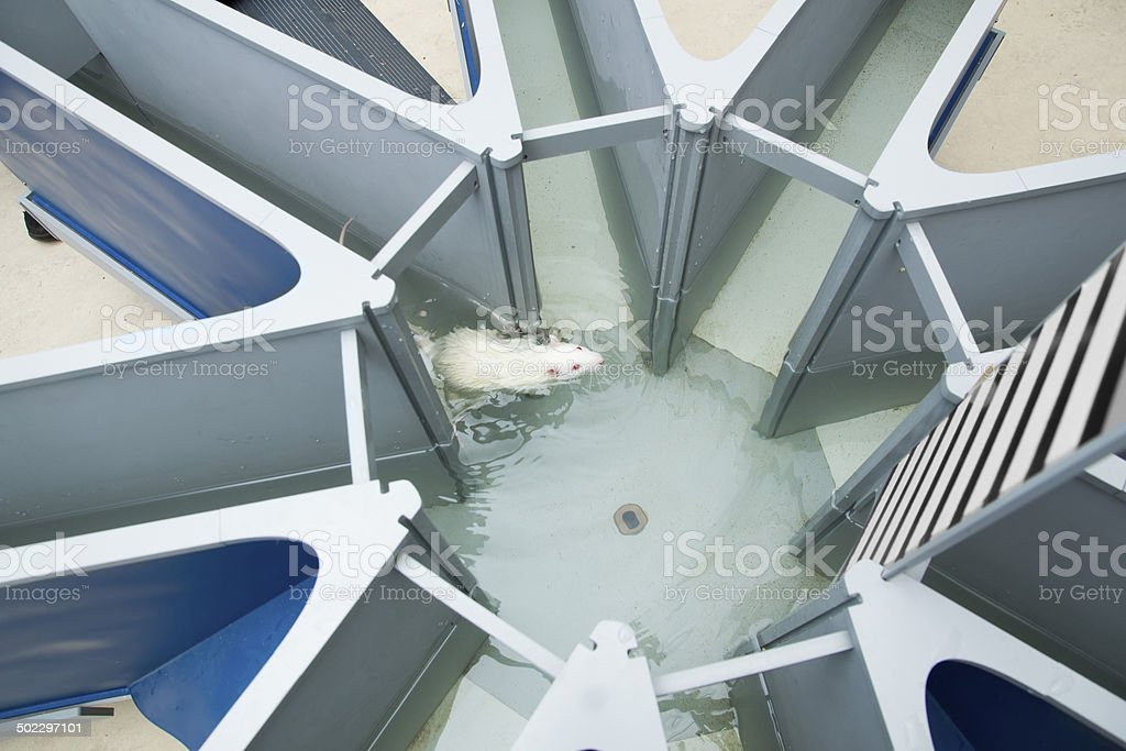 Laboratory white rat in the water radial maze. Behavioral experi royalty-free stock photo