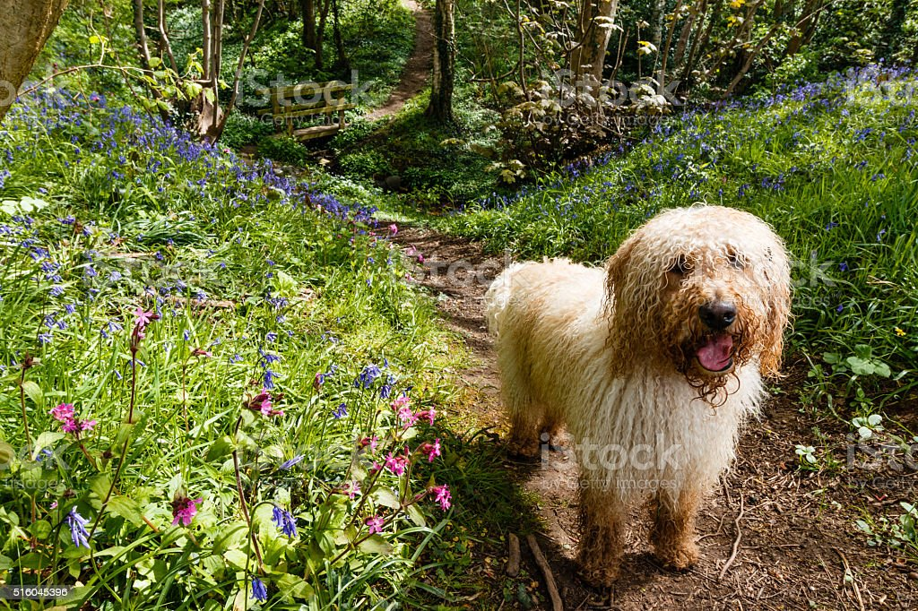 Labradoodle and Spring Bluebells in a Sunny Cheshire Wood stock photo