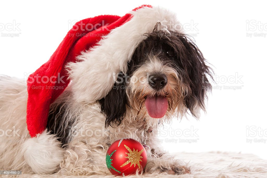 Labradoodle Christmas Pup stock photo