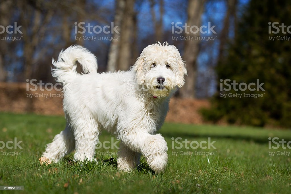 Labradoodle dog outdoors in nature stock photo