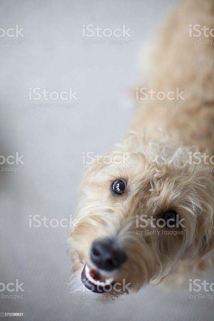 Labradoodle dog stock photo