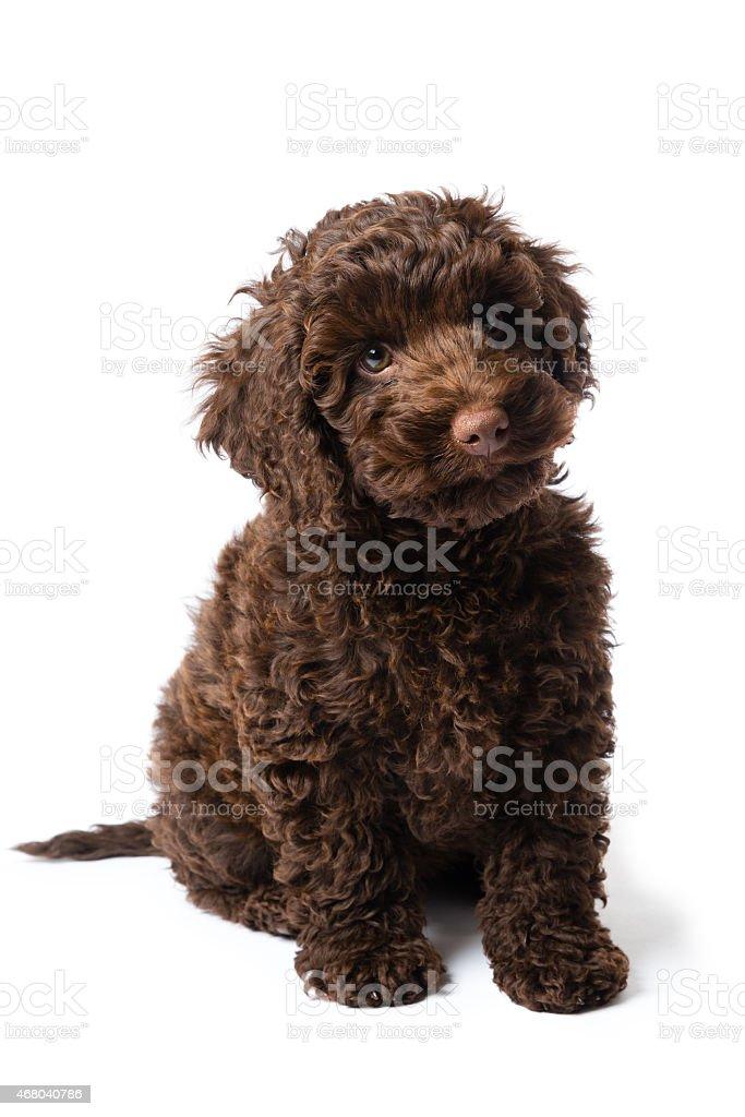 Labradoodle Mini Puppy stock photo