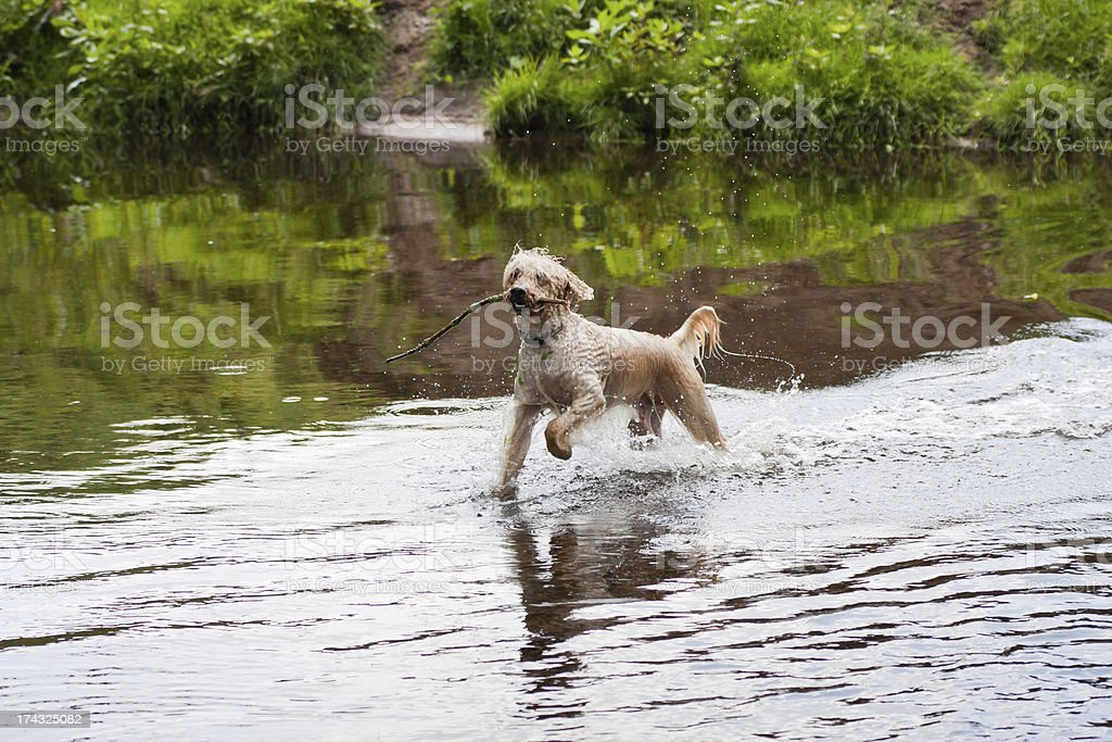 Labradoodle Playing in River royalty-free stock photo