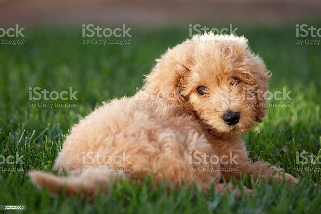 Labradoodle pup in the grass stock photo