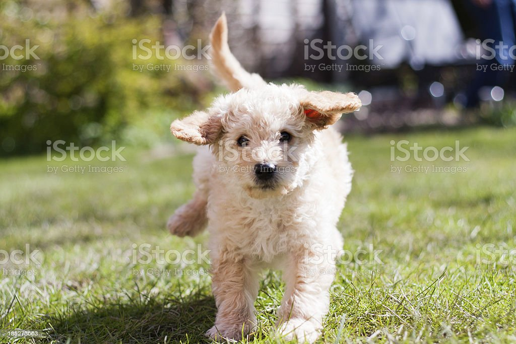 Labradoodle Puppy at Play stock photo