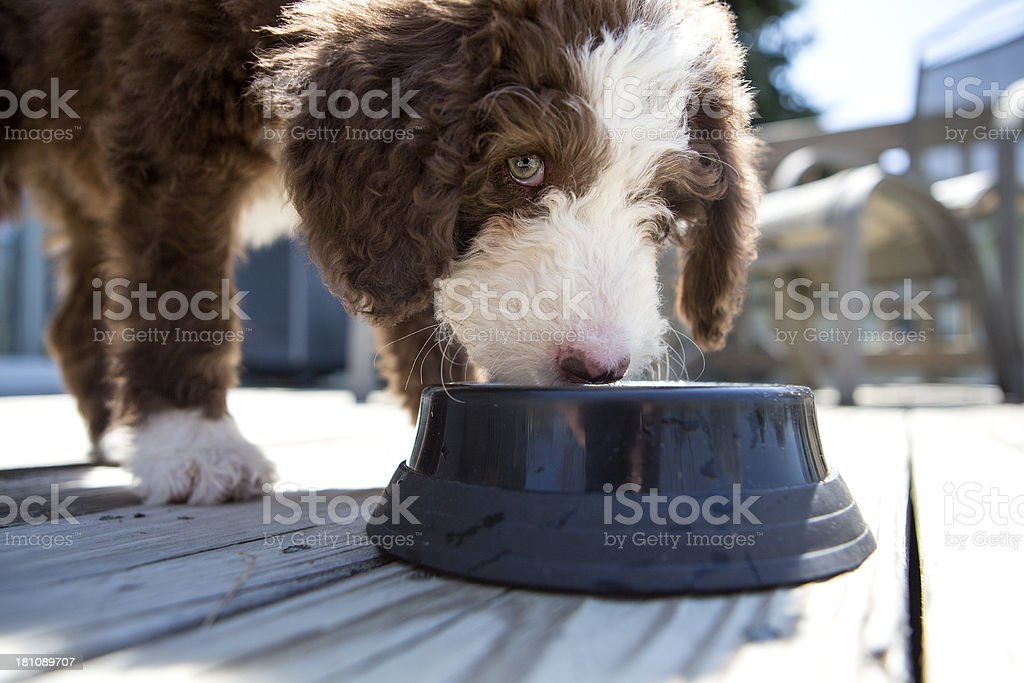 Labradoodle Puppy eating or drinking stock photo