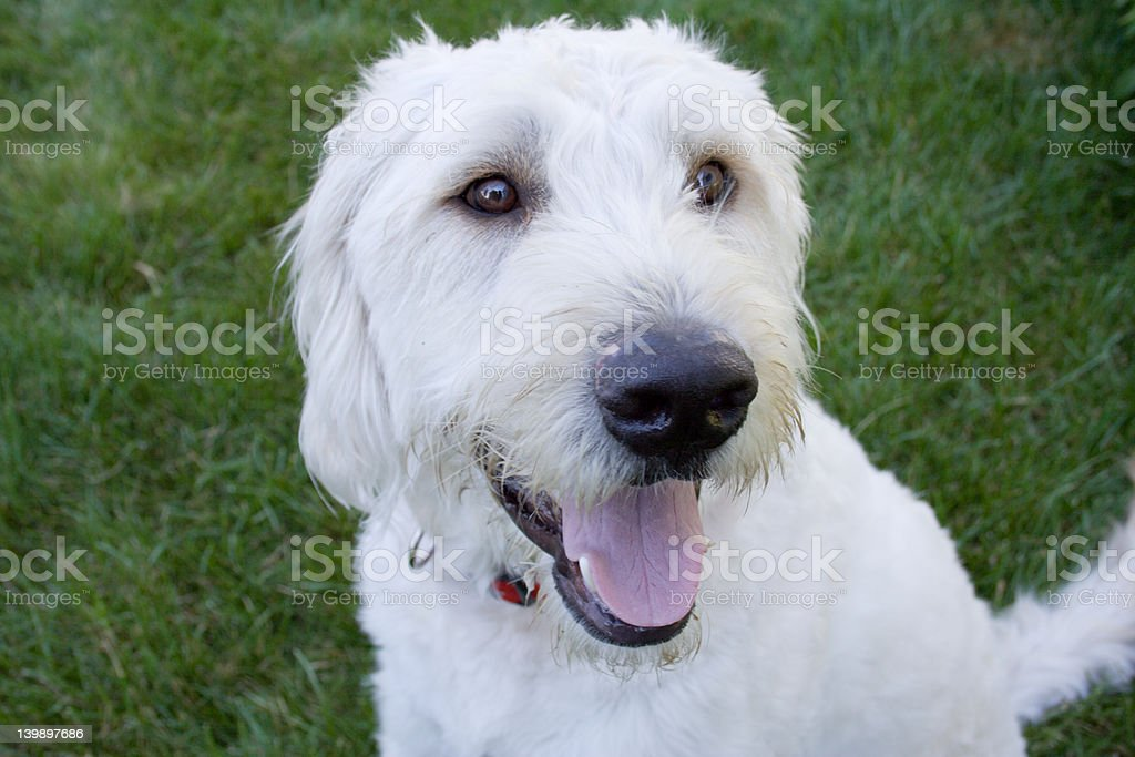 Labradoodle puppy royalty-free stock photo