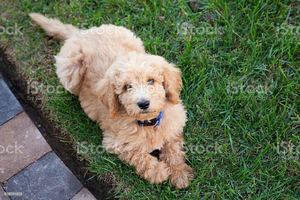 Labradoodle puppy stock photo