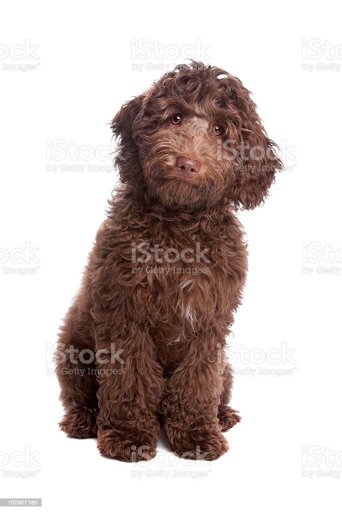 Labradoodle puppy tilting its head royalty-free stock photo