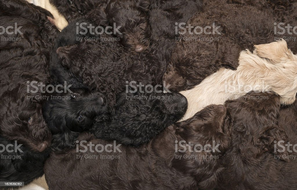 Labradoodle Pups as a Background royalty-free stock photo