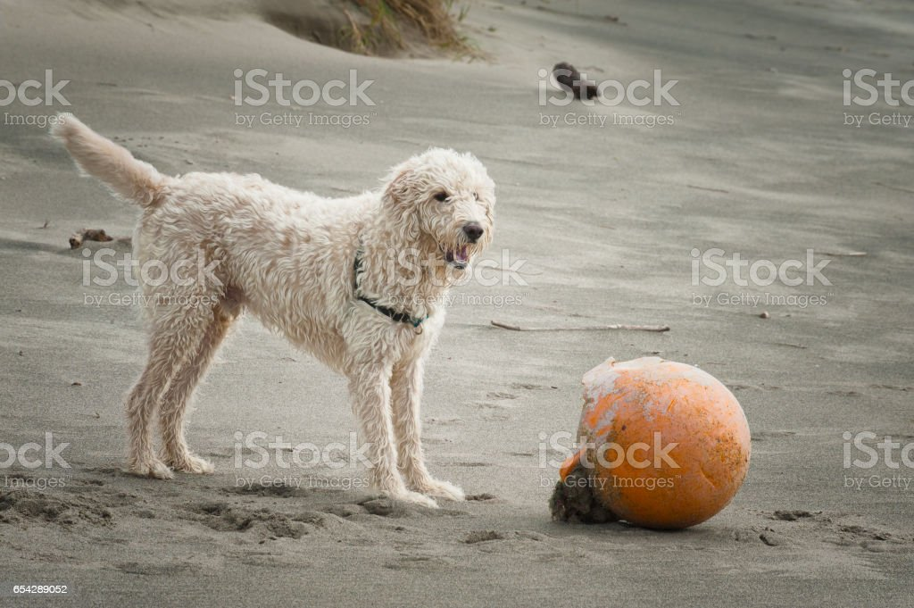 Labradoodle stands next to a buoy on beach stock photo