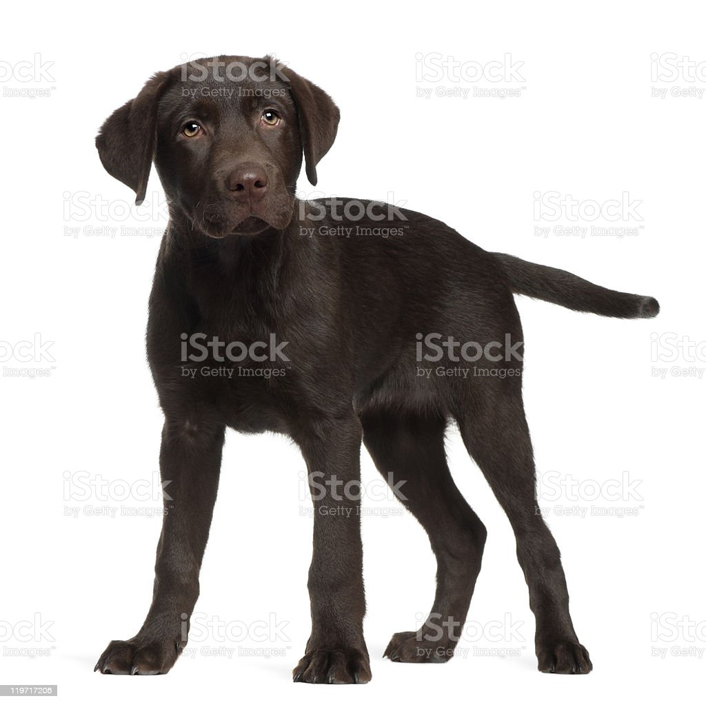 Labrador, 3 months old, standing in front of white background stock photo