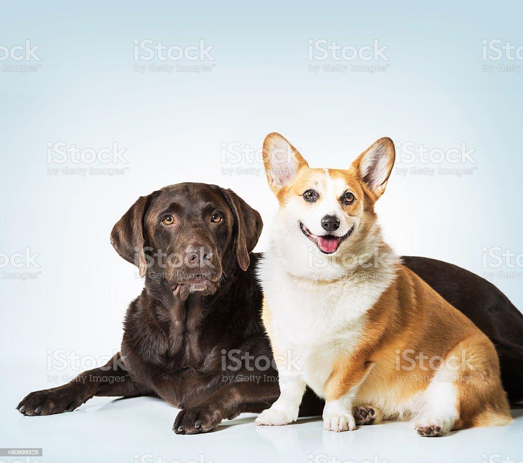 Labrador and corgi dogs stock photo