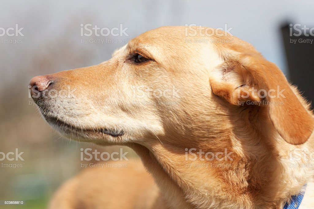 Labrador cross dogs head stock photo