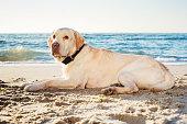 labrador  dog on beach