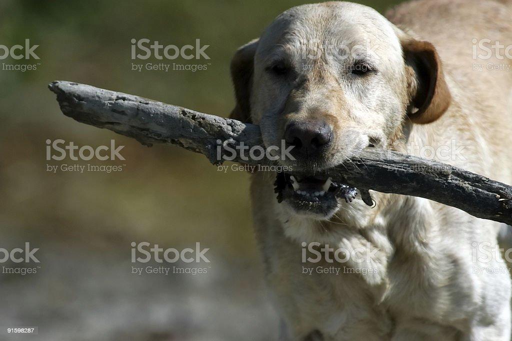 Labrador dog royalty-free stock photo
