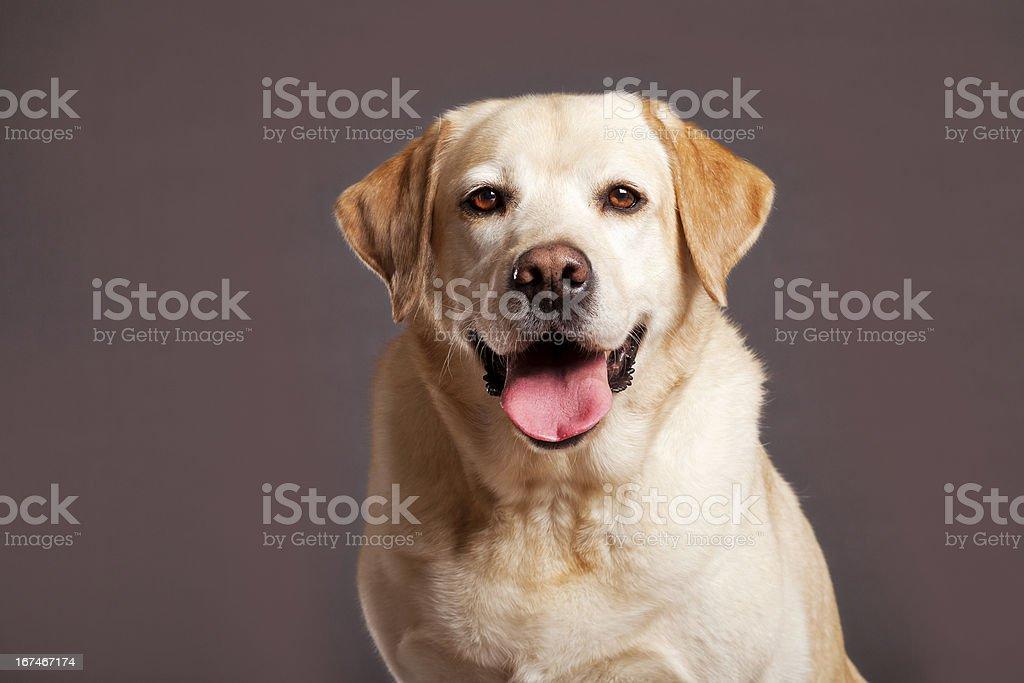 Labrador Dog Studio Portrait royalty-free stock photo